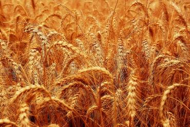 wheat 370x247