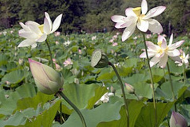 Lotus leaves in a field