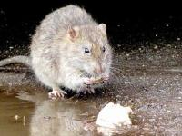Rat eating food scraps by the water