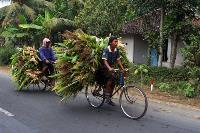 Two Indonesian farmers riding bicycles that are piled high with crops.