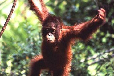 orangutan 370x247